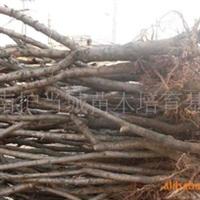 超低价大量供应4-10公分(占地用)桃树