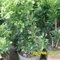 供应灌木米兰多种规格