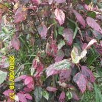 供应灌木彩叶扶桑等多种规格