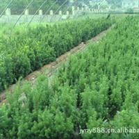 供应曼地亚红豆杉两年苗床大苗
