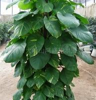 东莞大岭山鸿盛园艺销售室内植物--绿萝