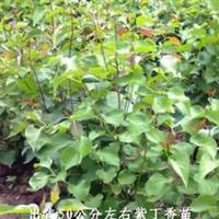 50公分左右高紫丁香苗