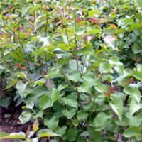 厂家出售50-60公分优质紫丁香苗