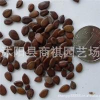 银合欢 银合欢种子~10元一斤 手机:132 828 2828