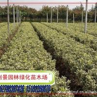 常年低价直销自产小麦,金边黄杨,金边冬青。小苗、大苗。