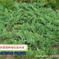 常年低价直销铺地柏,铺地柏小苗,15-50公分高的大苗、地柏