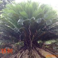 供应苏铁树