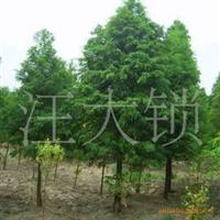江苏句容茅山汪大锁苗圃场 落羽杉5公分