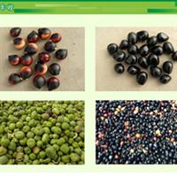 菁茂农业-文冠果种子【单位:公斤】保健食用油、生物质能源林