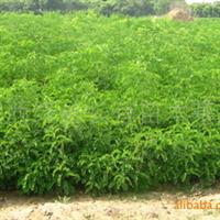 大量供应0.3——1公分紫穗槐