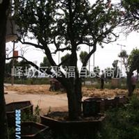 专业 经销 造型美观 大方的石榴树 盆景
