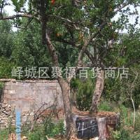 长期 供应 造型美观的  石榴树 石榴盆景