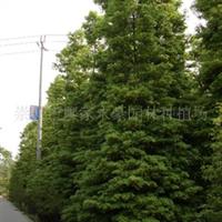 楠木树(绿化、工程用,提供各种规格绿化用楠木小苗、楠木大苗)