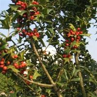 长期大量供应野生枸骨树(5公分到30公分)