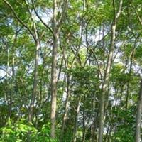大量供应5公分优质栾树,全国最低价格