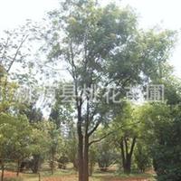 大量长期供应常德特色(10公分到40公分)黄连木