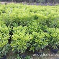 花场大量提应优质非洲茉莉、非洲茉莉中株、非洲茉莉小苗