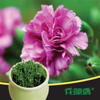 [花部落]  康乃馨 进口花种子套餐 办公室创意盆栽