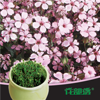 [花部落]  满天星 花种子套餐 办公室创意盆栽 家庭阳台盆栽