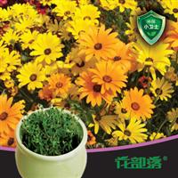 [花部落] 非洲金盏  进口菊花种子套餐  办公室桌面绿化花种盆栽