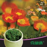 [花部落] 虞美人 进口花种 花种子套餐 办公室创意花卉