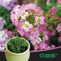 [花部落]  香雪球 庭芥 进口花种 花种子套餐