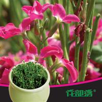 [花部落]  紫罗兰种子 进口花种子套餐 室内阳台花卉 创意花盆