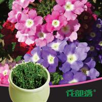 [花部落] 美女樱 进口花种套餐 办公室创意盆栽花卉