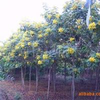 供应黄花槐