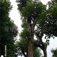 供应重阳木[秋枫]