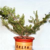 出售红豆杉盆景