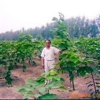 杂交构树7.8月份每天生长10cm