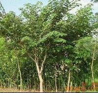 杂交构树3年期
