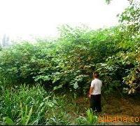 杂交构树。亩产值3600元高产经济作物