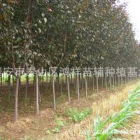 批发供应优质绿化树种红宝石海棠