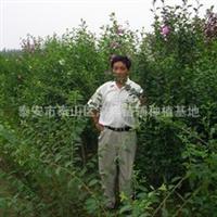 【面向全国】批发供应优质的绿花灌木木槿花