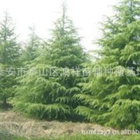 批发供应优质的泰安绿化树苗雪松