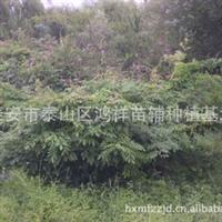 【面向全国】批发供应优质的泰安绿化攀援植物紫藤