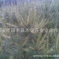 华山松密植苗