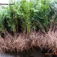 优质东北红豆杉种苗-【东北红豆杉大型繁育基地】