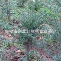 东北红豆杉籽播苗