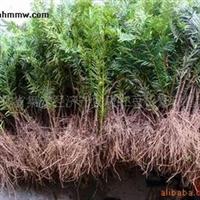 东北红豆杉种苗《吉林省红豆杉大型繁育基地》