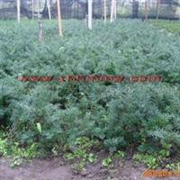 东北红豆杉五年苗