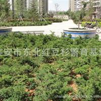 东北红豆杉工程苗