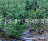东北红豆杉乔木苗