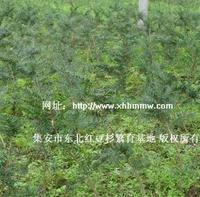 销售东北红豆杉种苗(30-40)厘米