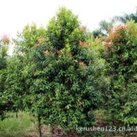 [绿林园艺]出售红楠木(红车木),数量200+,胸径2-10cm,高度2-5m.