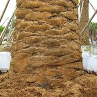超值供应大型棕榈科 加拿利海枣 头径300-500cm