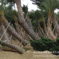 绿林园艺超值价供应中东海藻 自然弯曲棕榈科植物