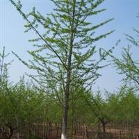 供应14cm实生银杏苗 银杏树 厂家直销 银杏苗 质优价廉